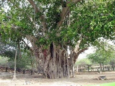 مجوعه درخت سبز