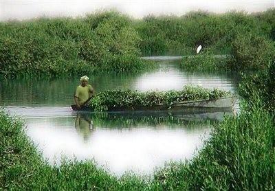 Mangrove Forest Of  Tabl Village