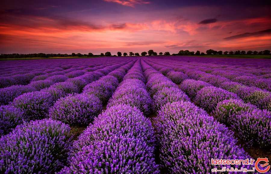 دنیای اعجاب انگیز گل های لاوندر + تصاویر