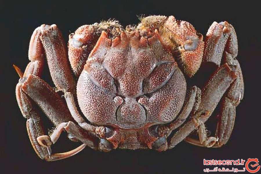 خرچنگی عجیب با صورتی شبیه به انسان!