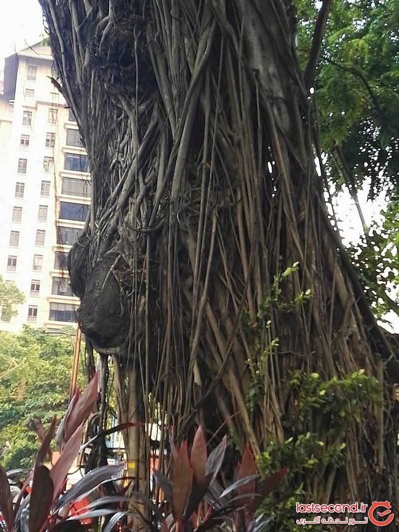 یکی از صدها درخت جالب کوالا
