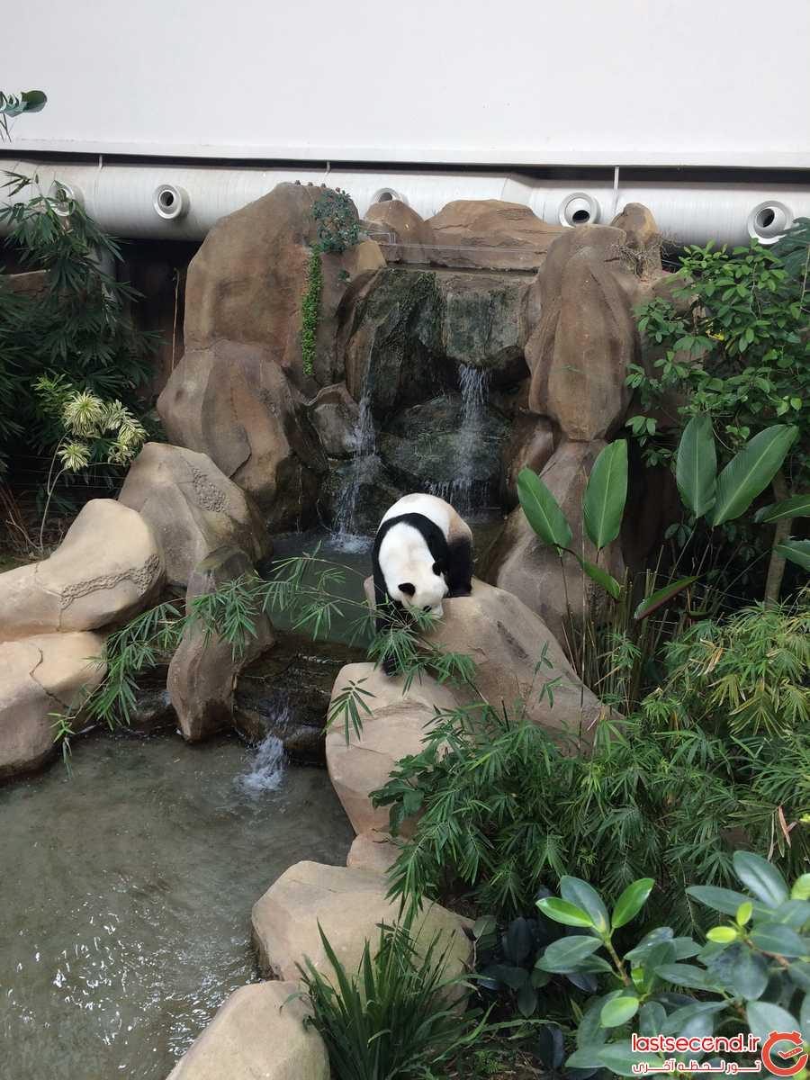 پاندا در باغ وحش