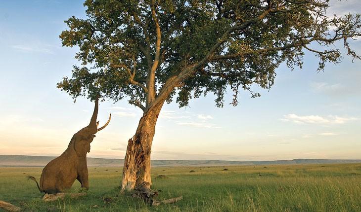 درختی عجیب با میوه الکل دار در آفریقا
