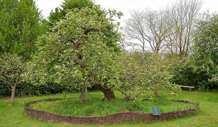 درخت سیب نیوتن کجاست ؟