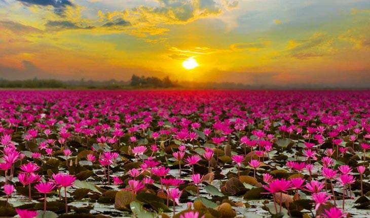 دریای نیلوفرهای سرخ را در تایلند ببینید 