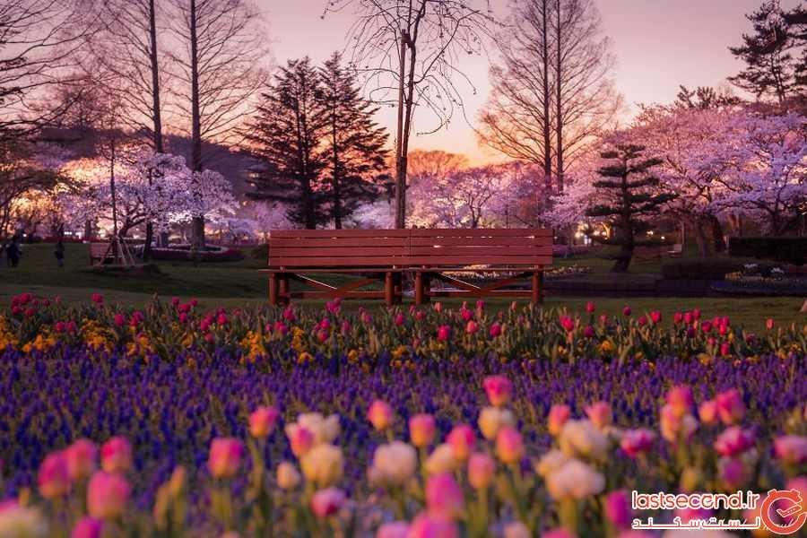 تصاویر رویایی از ژاپن و شکوفه های بهاری آن 