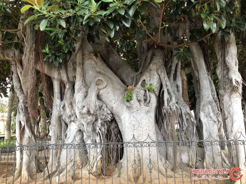 یکی دیگر از درختان قدیمی روستای Icod de los vinos