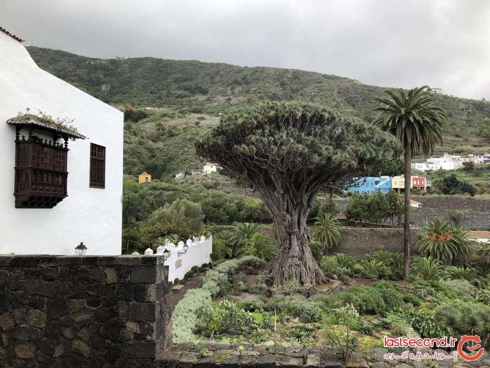 درخت دراگو قدیمی روستای Icod de los vinos