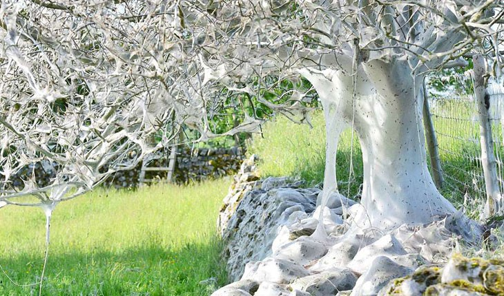درخت ترسناکی در انگلیس که پوشیده از تارهای ابریشم است!