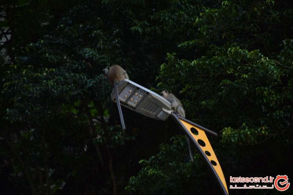 میمون های باتو کیو کوآلالامپور
