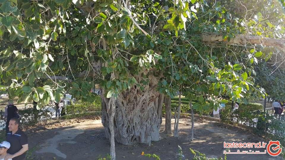 درخت آرزوهای کیش