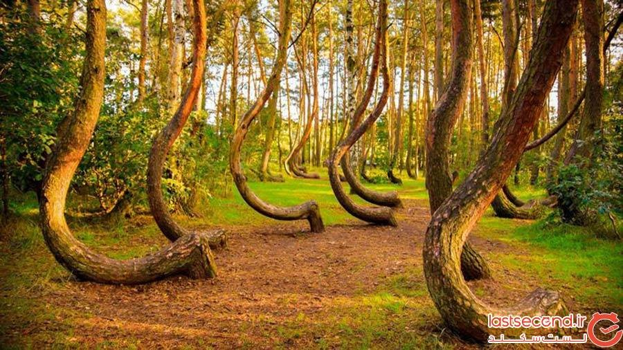جنگل درختان کج (Crooked Forest)