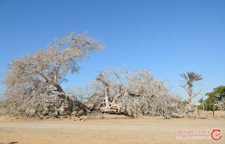 عظمت درخت انجیر معابد هزار ساله