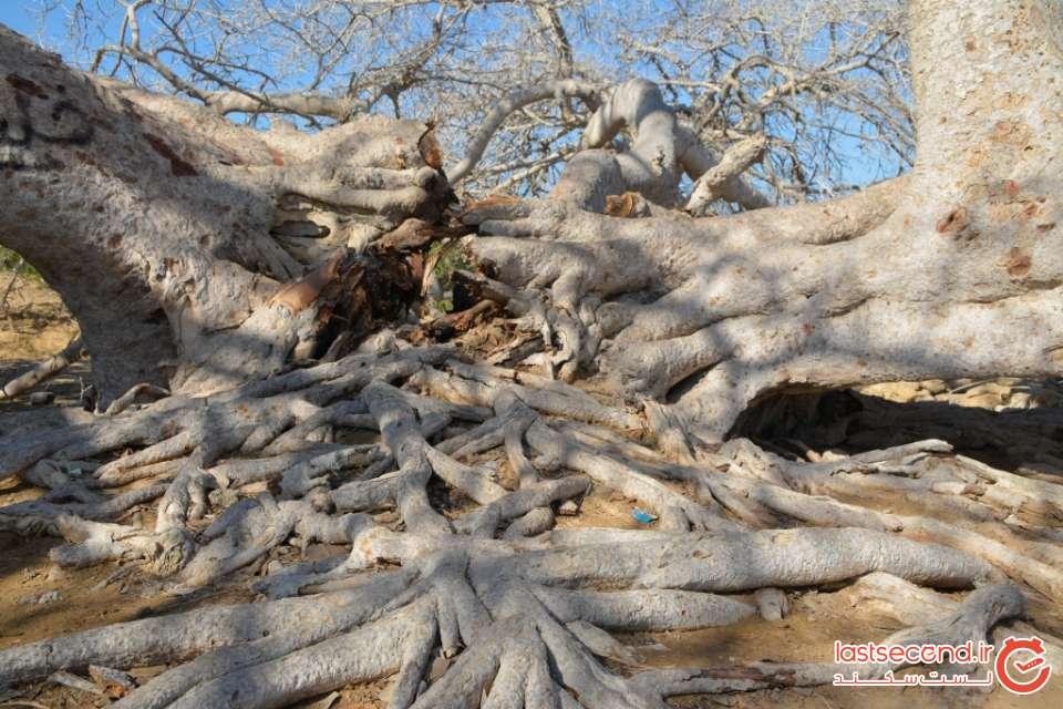 درخت انجیر معابد هزار ساله