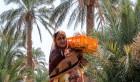 فصل برداشت خرما در ایران