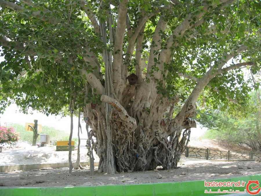 درخت لور در روستای رمین
