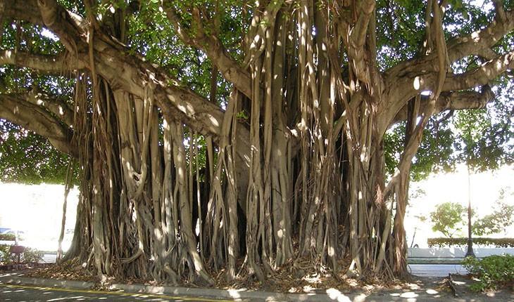 درخت همیشه سبز لور در جزایر جنوبی ایران