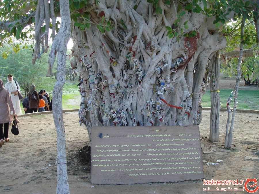 درخت لور در جزیره کیش