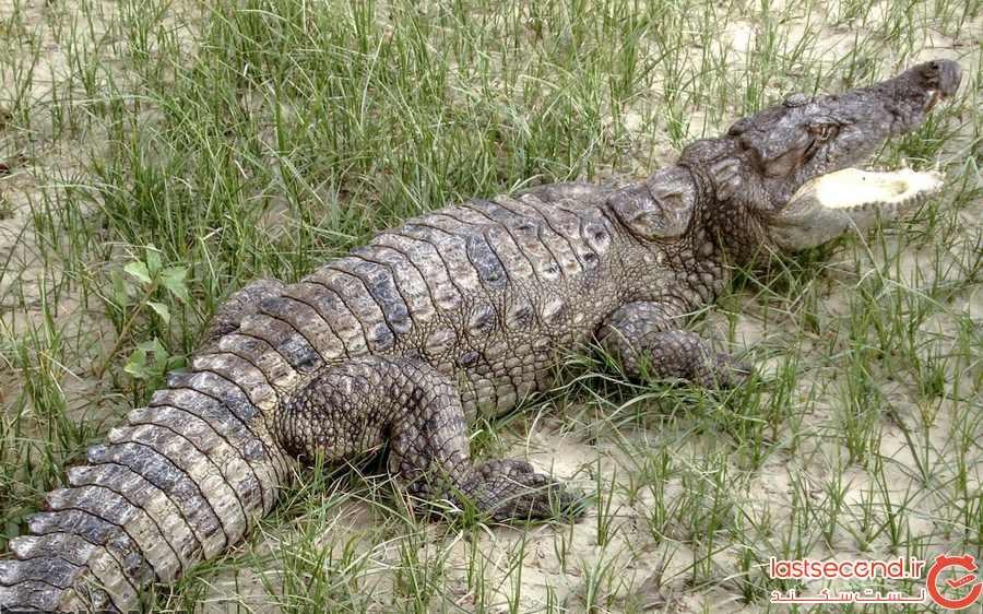 ترسناک ترین و مقدس ترین حیوان ایران، گاندو
