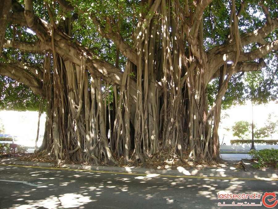 درخت لور