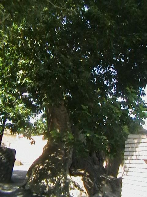 Plane trees 1400  years old Khamaneh