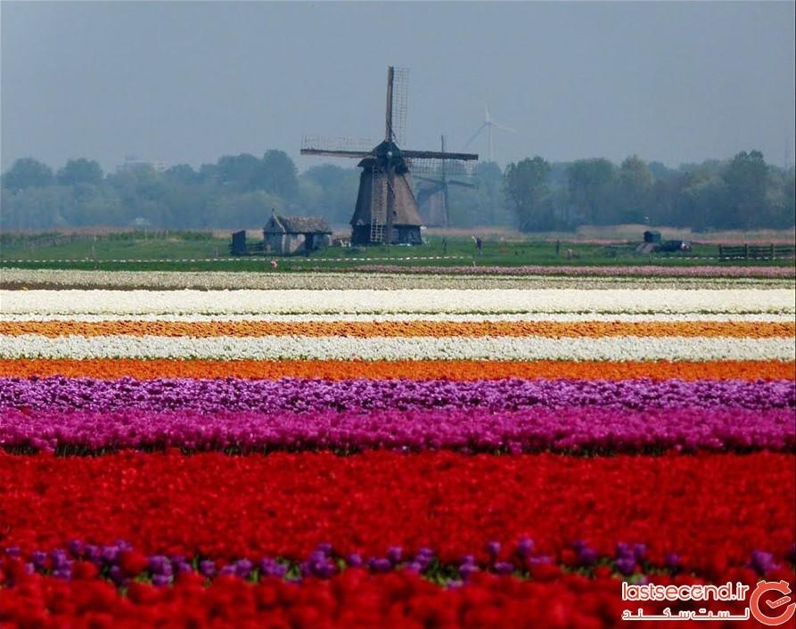 مزرعه گلهای لاله در هلند