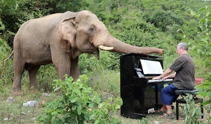 پیانو زدن برای فیل های بازنشسته در تایلند