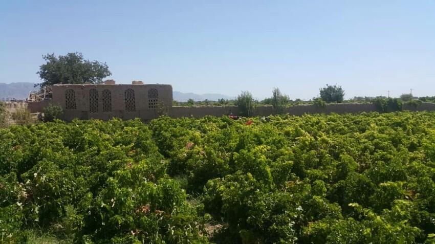 Khalil Abad grape gardens