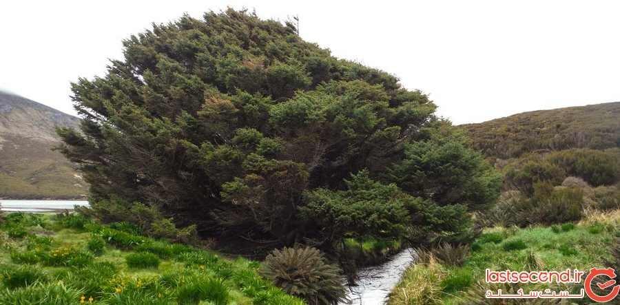 تنهاترین درخت جهان، حفظ نشانگرهای آن در عصر جدید