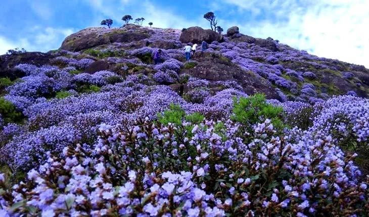نادرترین گونه گل های دنیا در جنوب هند تا سال 2030 گل نمی دهد