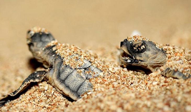 شیب دراز، ساحلی امن برای لاک پشت های پوزه عقابی
