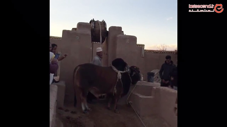 گاوچاه سنتیترین روش آبکشی از چاه توسط گاو سیستانی