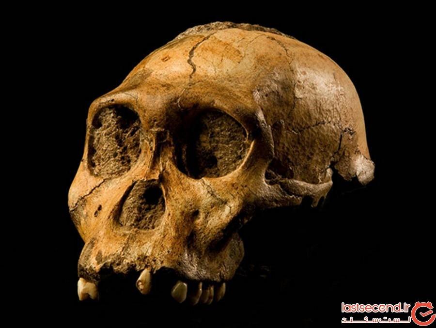 حلقه ی مفقوده ی تکامل انسان زیر پایه ی پسری نُه ساله