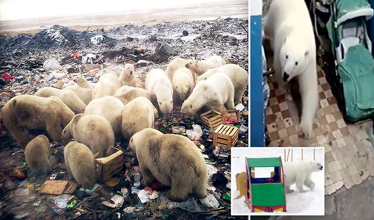خرس های نا امید به روسیه حمله کردند