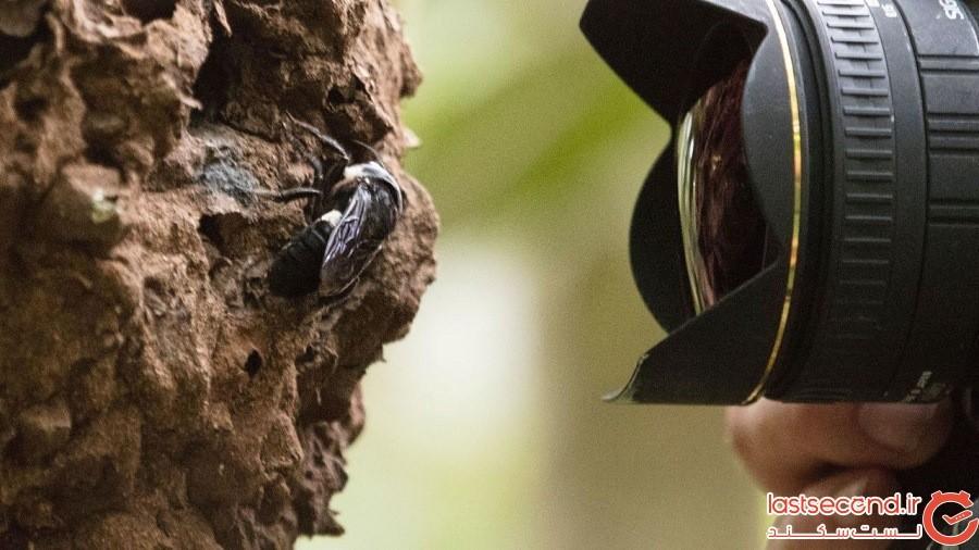 بزرگترین گونه زنبور جهان در اندونزی کشف شد