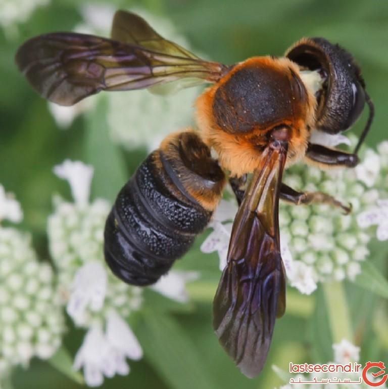 huge-bee2.jpg