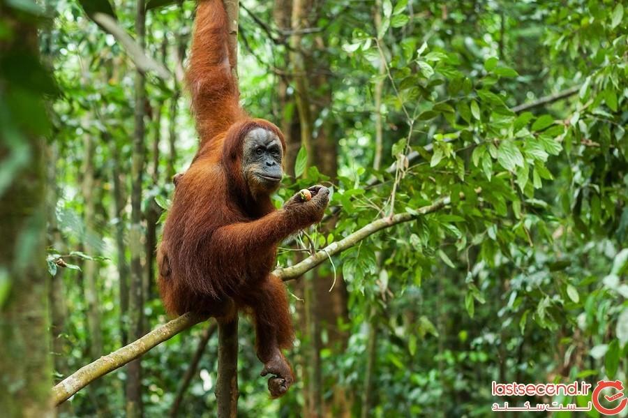 جنگلهای بارانی استوایی سوماترا – اندونزی