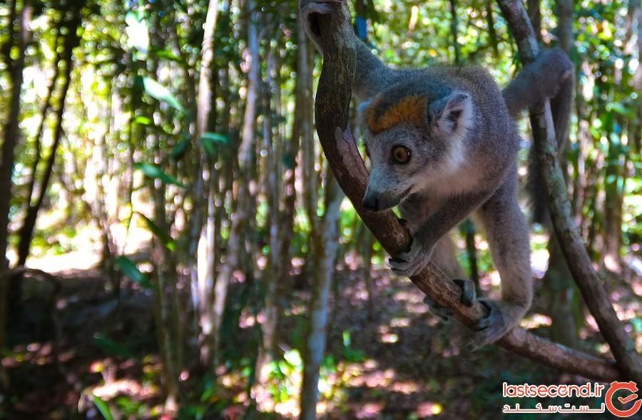 جنگلهای بارانی آتسینانانا (Atsinanana) - ماداگاسکار
