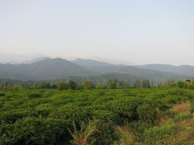 واجارگاه، مزرعه سبز چای در گیلان