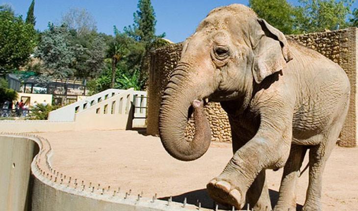 غمگینترین فیل دنیا، پس از ۴۳ سال در قفس درگذشت
