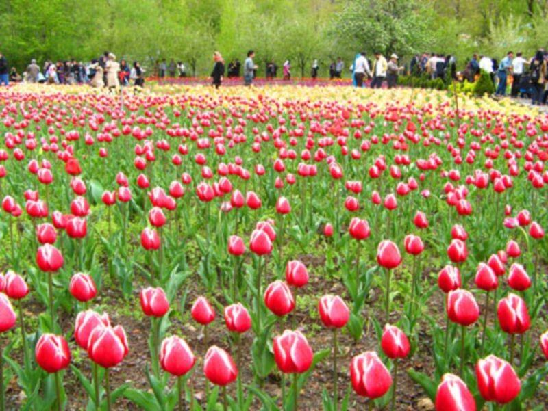 Gachsar Tulips Garden (3).jpg