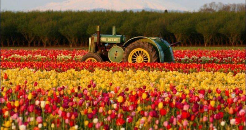 Gachsar Tulips Garden (5).jpg