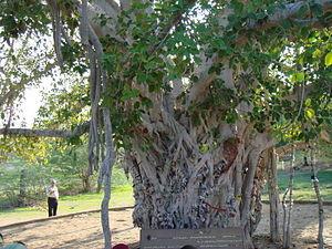 درخت انجیر معابد (1).jpg