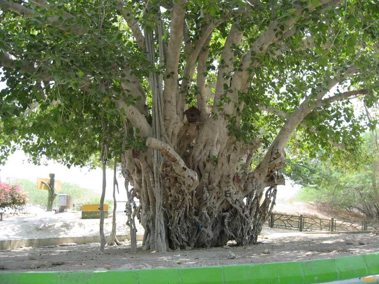 درخت انجیر معابد (2).jpg