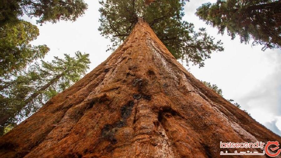 درختان غولپیکر سکویا بزرگترین موجود زنده بر روی زمین هستند