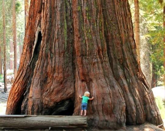 درختان غولپیکر سکویا، بزرگترین موجود زنده بر روی زمین