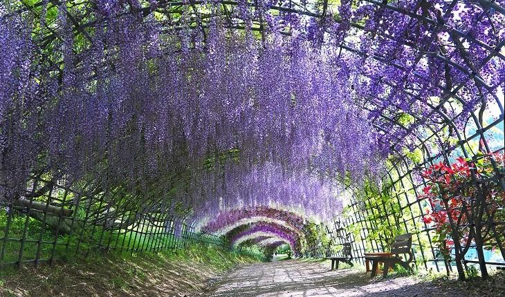 تونلهای زیبای ویستریا در ژاپن، متعلق به افسانهی پریان