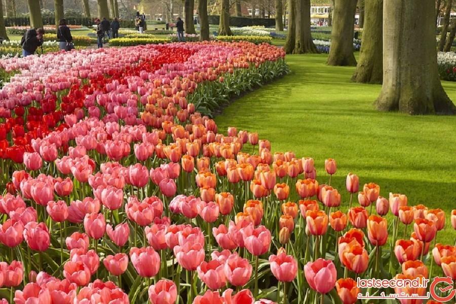 شکفتن 7 میلیون لاله رنگارنگ در بزرگترین باغ گل هلند
