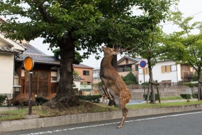 گوزنی وحشی که آزادانه در خیابانهای ژاپن پرسه میزند