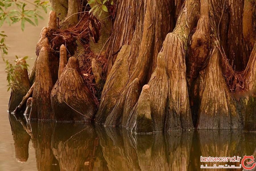درختی که در مرداب رشد کرده و قدمتش به قبل از میلاد مسیح برمیگردد!